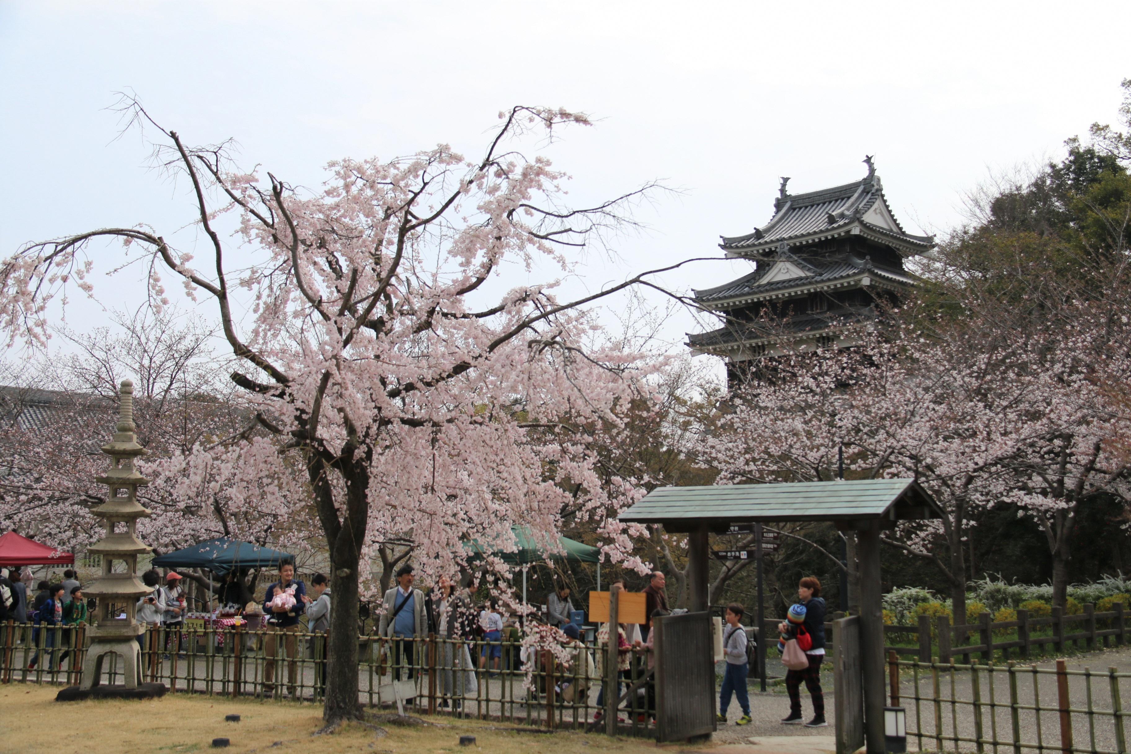 桜と歴史大満喫!ガイドと巡る城下町ウォーキング参加者募集🌸